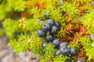 Superfood Crowberry